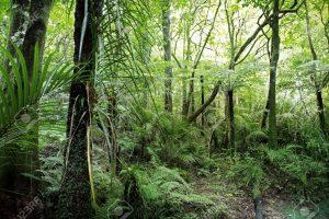 Agarwood trees