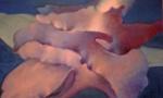 Crepuscula glacialis, 1997.