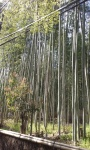 Bamboo forest (1).