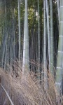 Bamboo forest (2).