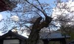 Cherry tre and blue sky.