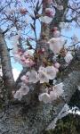 cherry tre branch.