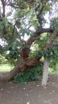 mulberry tree.