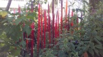 Red_Reeds.