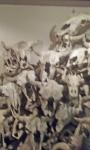 buffalo skulls.jpg