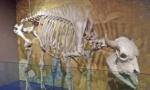 skeleton of a bison.jpg