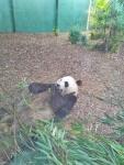 Panda 3.